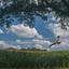 Een bruine Kiekendief zweeft over de akker.