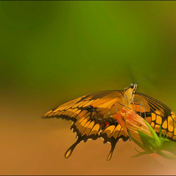 vlinder op bloemknop................