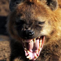 Lachende hyena
