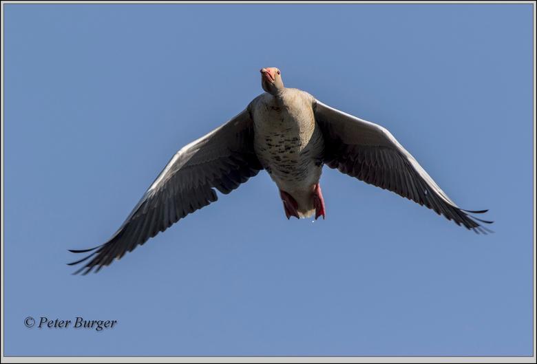 grauwegans  - deze grauwe gans kwam mooi bijna recht over me heen vliegen