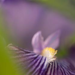iris detail-1240474