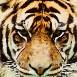 een mooie tijger kop portret