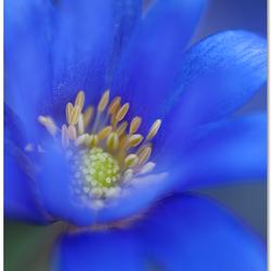 Anemone Bleus