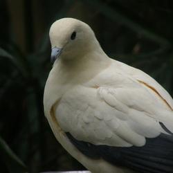 Een duifje, mijn duifje...