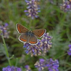 Bruin blauwtje op Lavendel
