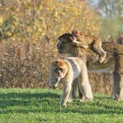 Een apen gezinnetje met jongen