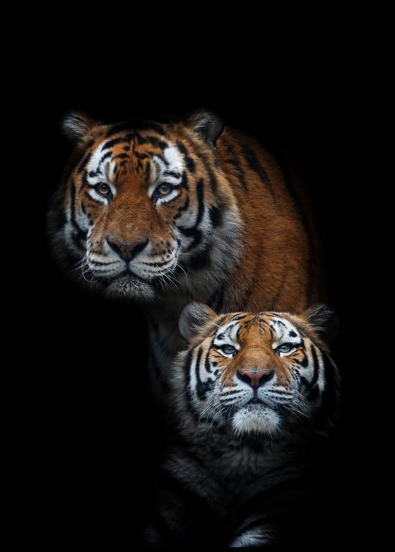 Tigers! - Wat blijven het prachtige beesten.<br /> Ik krijg er geen genoeg van.<br /> <br /> Bedankt voor de reacties op mijn vorige ups.<br /> <b