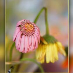 geknakt in de bloei van het leven....
