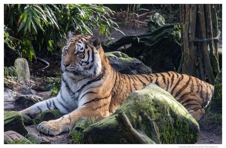 4346 tijger - dierentuin Amersfoort tijger