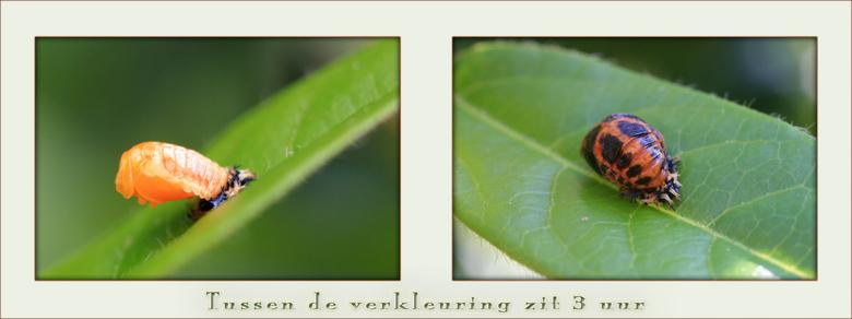 Tijdsverkleuring - Hier is de larve van het LHBtje net in een pop veranderd. En nog heel licht van kleur.(Helaas heb ik dat gemist) <br /> En ongevee