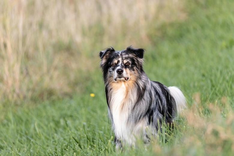 Easy - australian shepherd