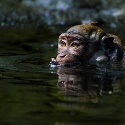 Badderend aapje