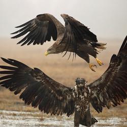 Veel vleugels tegelijk