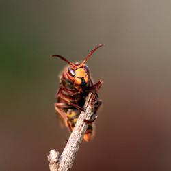 De grote Hoornaar.
