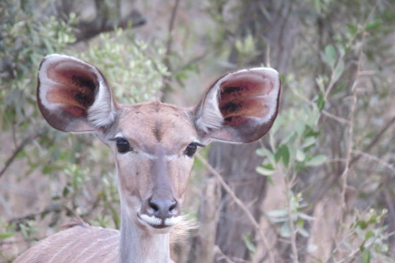 """Koedoe - Nog net vanuit een jeep in het Kruger National Park op afstand kunnen klikken en dan van die mooi """"geschilderde"""" oren."""