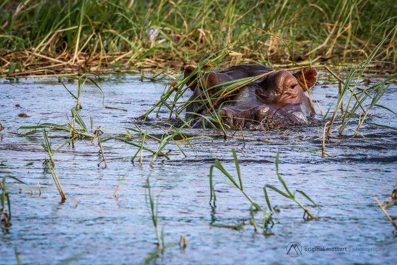 Nijlpaard in Chobe National Park, Botswana