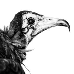 Profiel roofvogel