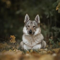 Wolfhonden fotoshoot