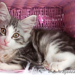 Noorse Boskat Kitten in een mandje...