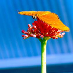 La Vlinder orange