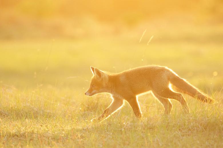 Golden fox.