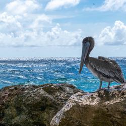 Pelikaan - Curacao