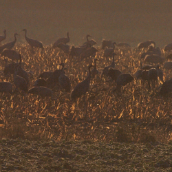Kraanvogels bij tegenlicht