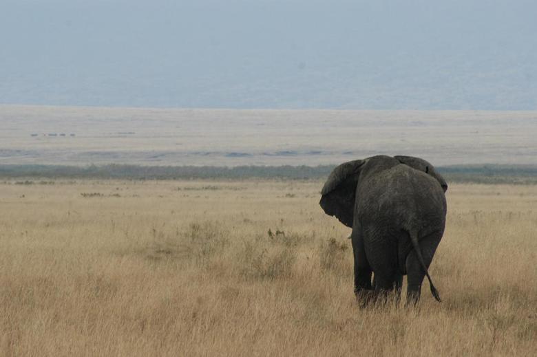 Olifant in Ngorongoro - Ngorongoro Crater Tanzania