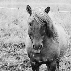 Icelandic Beast