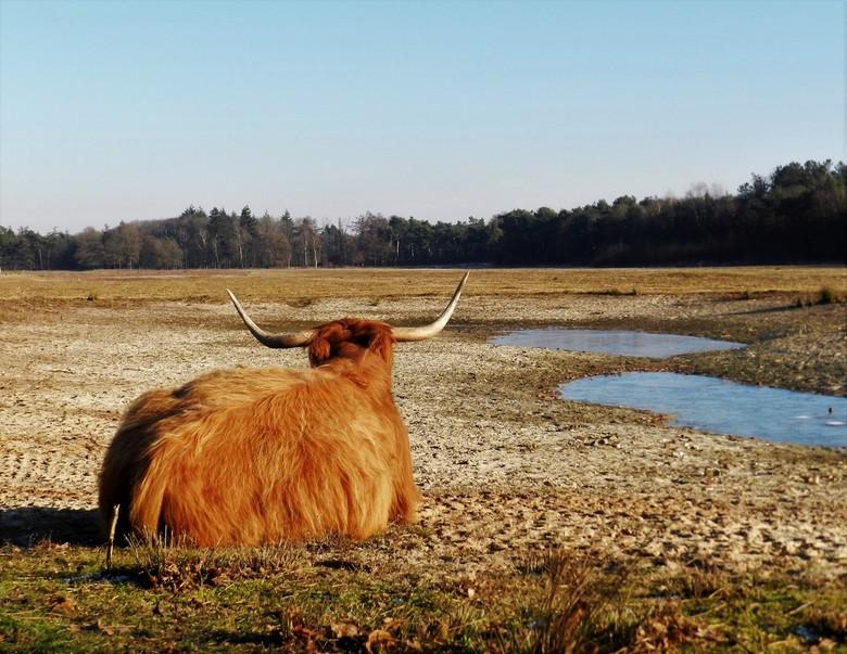 schotse hooglander rustend - Schotse hooglander rustend in natuurgebied De Maashorst