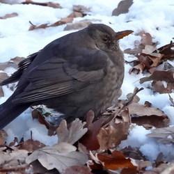 Vogel serie 122. merel