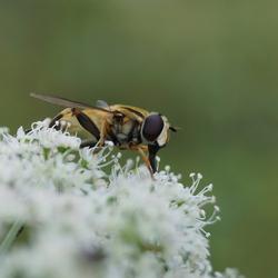 Insect op fluitenkruid