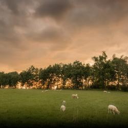 Meer schapen