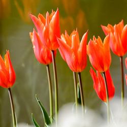 _tulpen