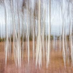 Het berkenbos