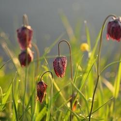 Kievitsbloemen aan het water, Zwolse tulpen