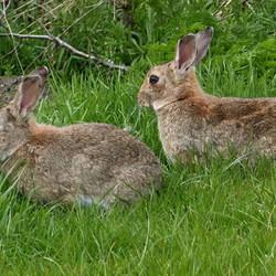 Dieren serie 134. konijnen.