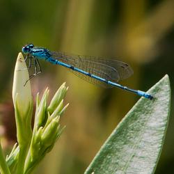 Blauwe Libelle geniet van de tropische warmte