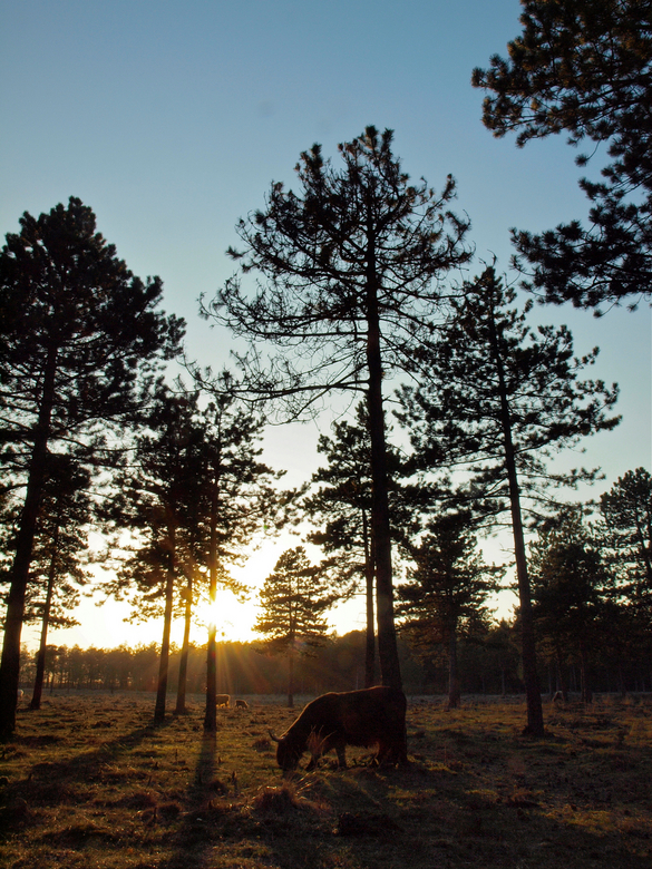 ondergaande zon in het bos - met mooi tegenlicht en lange schaduwen de schotse hooglanders kunnen fotograferen.
