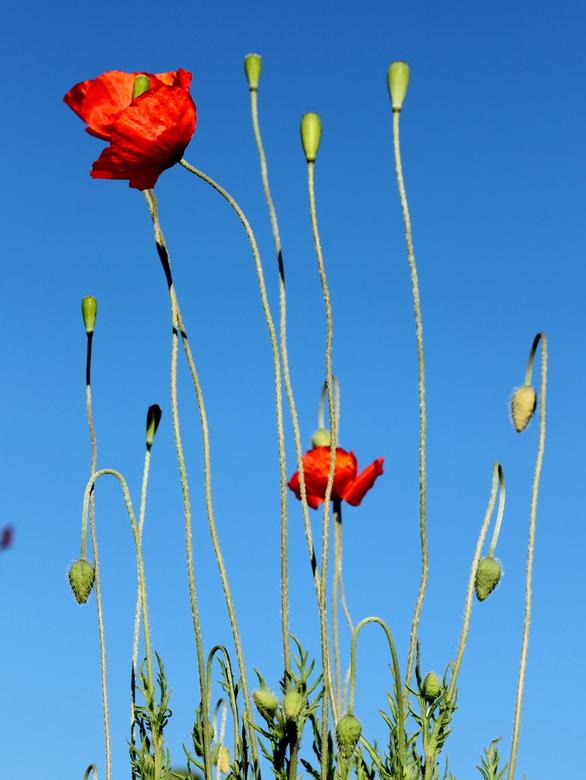 Frisse lente! - Wat kunnen klaprozen heerlijk afsteken tegen zo'n blauwe lucht. Mooi om te zien hoe verschillend alle klaprozen zijn...wat een vo