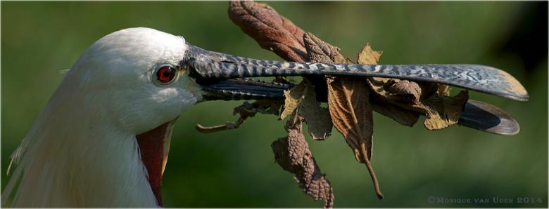 Een snavel vol - Deze lepelaar heeft even niks meer te zeggen tegen zijn vrouw die ongeduldig op een nieuwe lading nestmateriaal zit te wachten.....<b