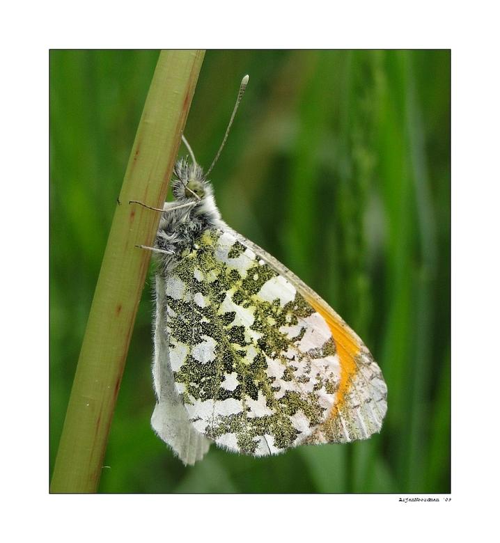Oranjetipje - Vanmiddag nog weer even m'n nieuwe camera uitgeprobeerd op vlinders e.d. In tegenstelling tot de macro van gisteren heb ik nu ISO 2