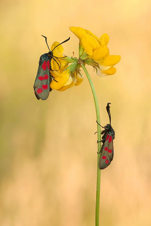 Sint Jansvlinders - Vanochtend eindelijk een keer windstil. Vroeg er opuit. Helaas weining insecten. Maar deze 2 Sint-Jansvlinders maakten alles goed.