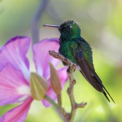 Cubaanse Smarachdkolibri