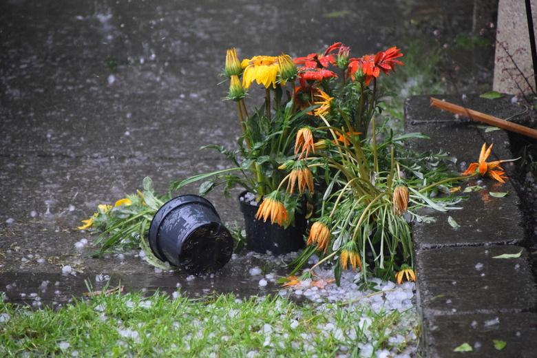 Jun16 - De bloemetjes buiten zetten …. tot ze door hagel verpulverd worden.
