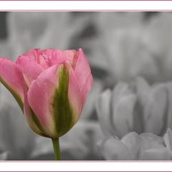 opvallend rose