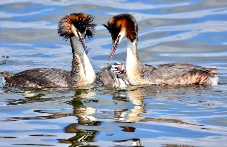 Ouderliefde.. - Er zijn nu overal wel jonge vogels te vinden en ouders die er heel druk mee zijn. Dit futenpaar had 3 jongen waar ik een serie van heb