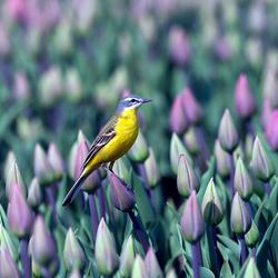 Tussen de Tulpenvelden