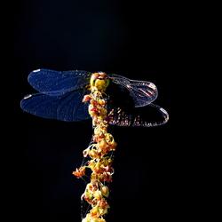 Libelle, in avond-strijklicht