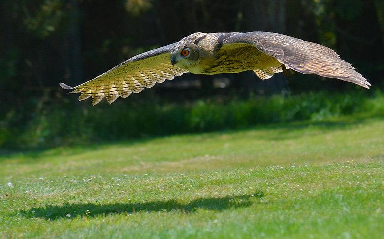 Oehoe op muizenjacht. - Oehoes zijn roofvogels, die een groot territorium hebben, en graag stenige hellingen opzoeken om te broeden. Dat is een habita